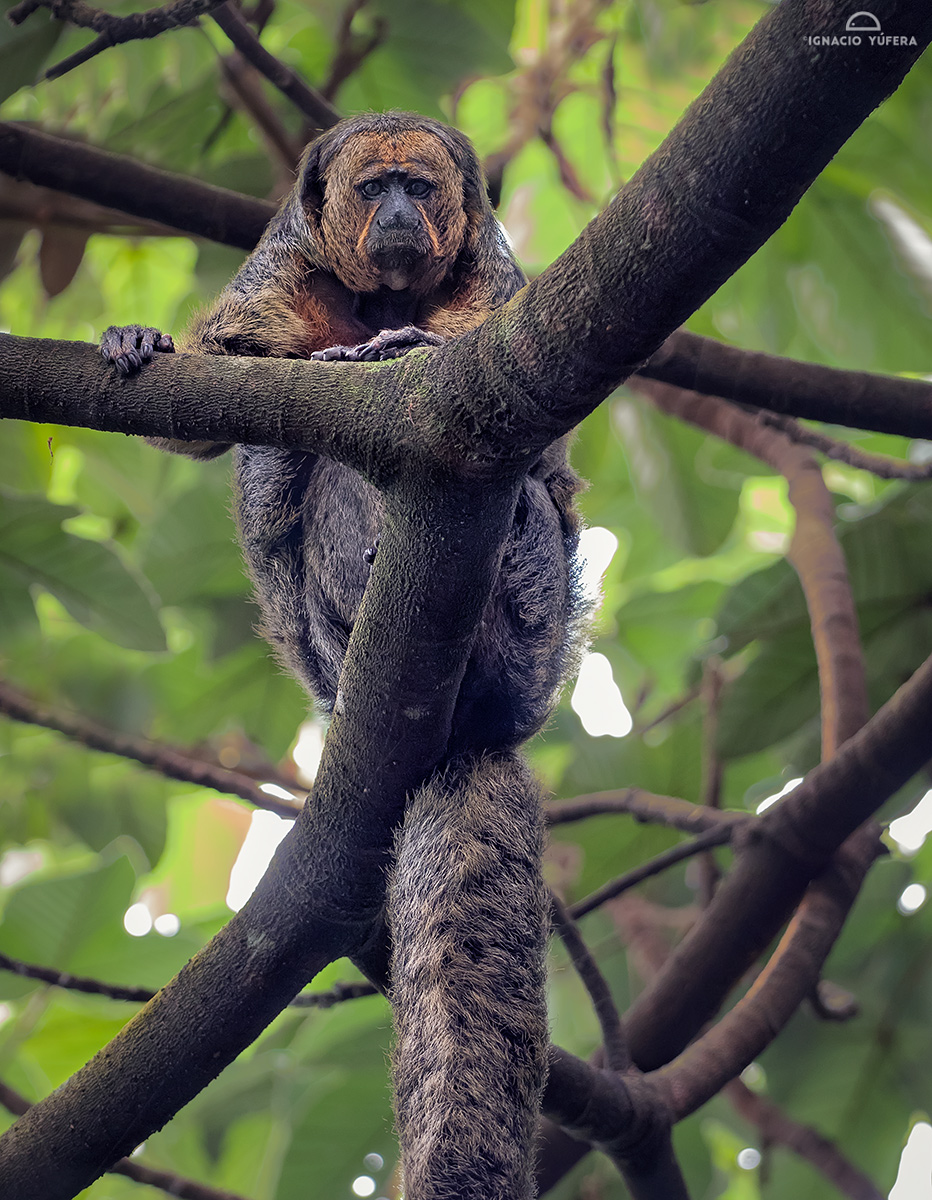 Golden-faced Saki (Pithecia chrysocephala), female, Amazonas, Brazil