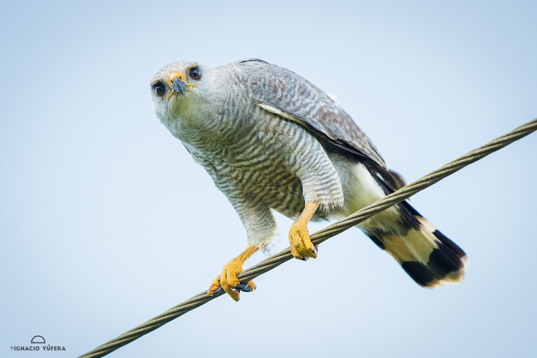 Gray-lined Hawk (Buteo nitidus)