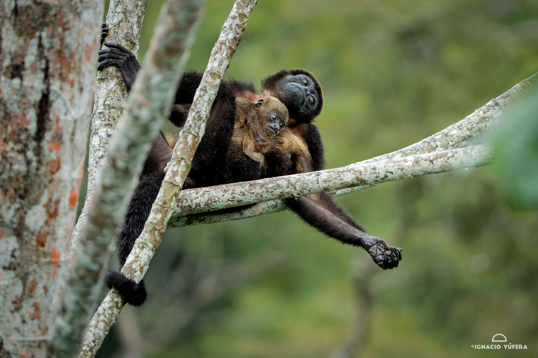 Mantled Howler Monkey (Alouatta palliata), female with infant, Gamboa, Panama