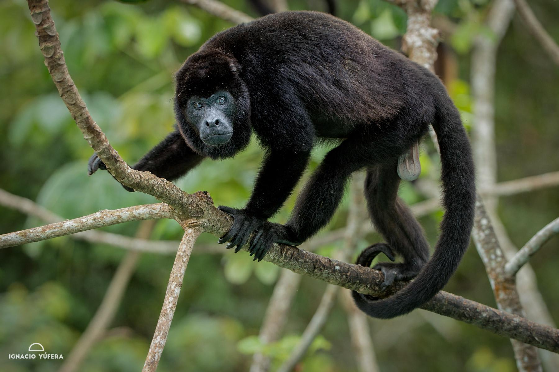 Mantled Howler Monkey (Alouatta palliata), adult male, Gamboa, Panama
