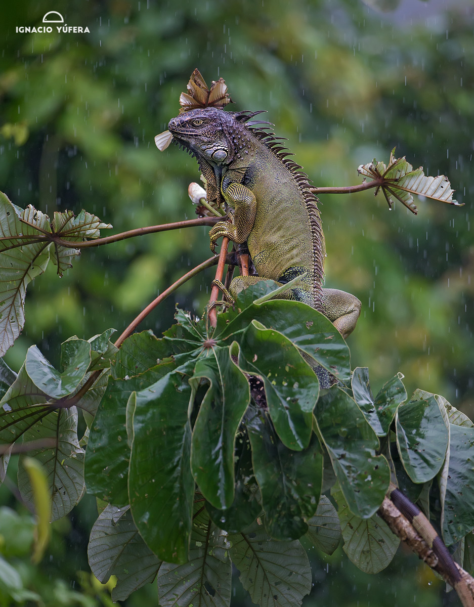 Green iguana (Iguana iguana), adult feeding on Cecropia leaves under rain, Panama, July