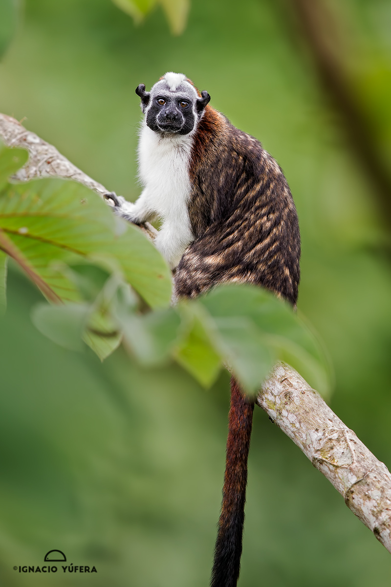 Geoffroy's tamarin (Saguinus geoffroyi), Gamboa, Panama, October