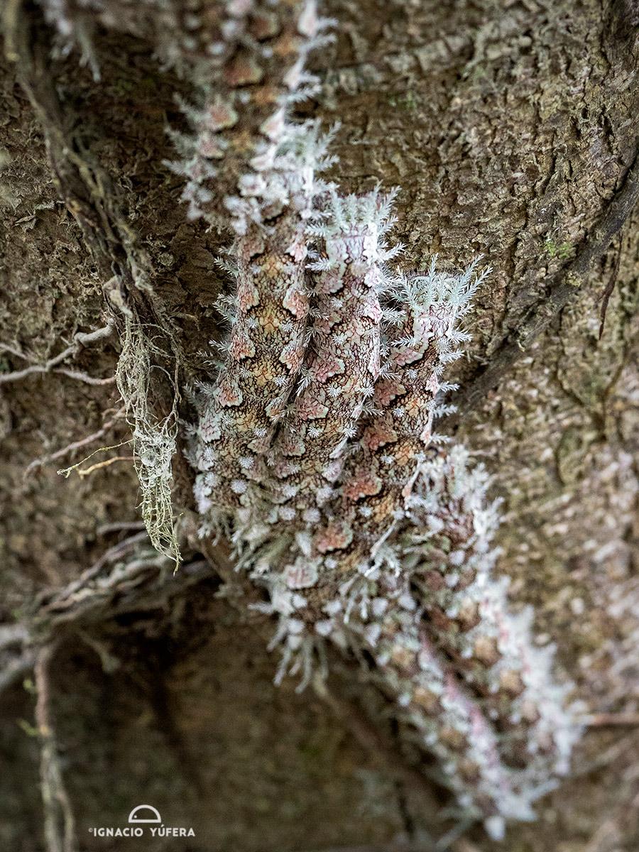 Lonomia-caterpillars