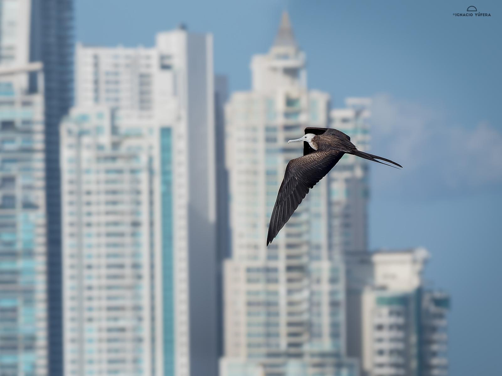 Magnificent Frigatebird (Fregata magnificens), Panama City