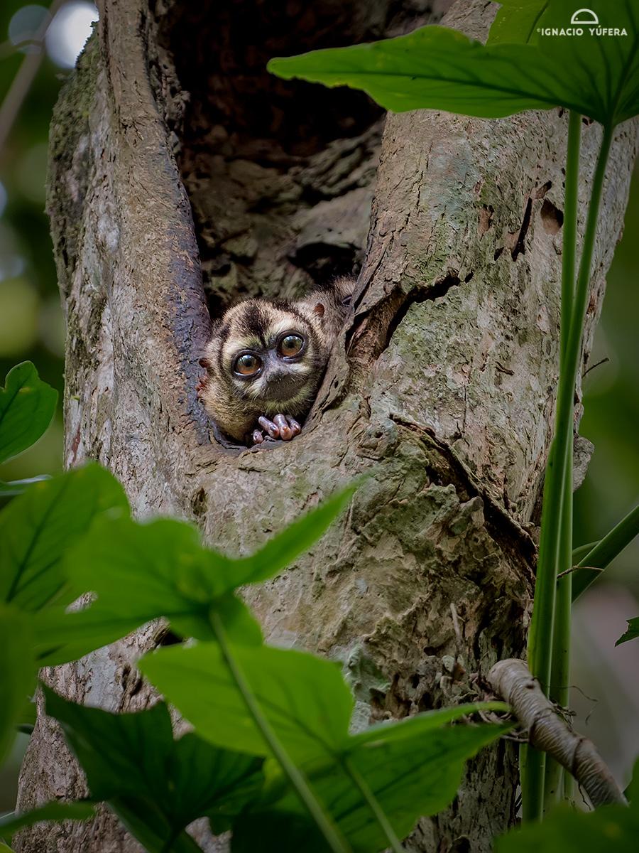 Western Night Monkey (Aotus lemurinus), Gamboa, Panama
