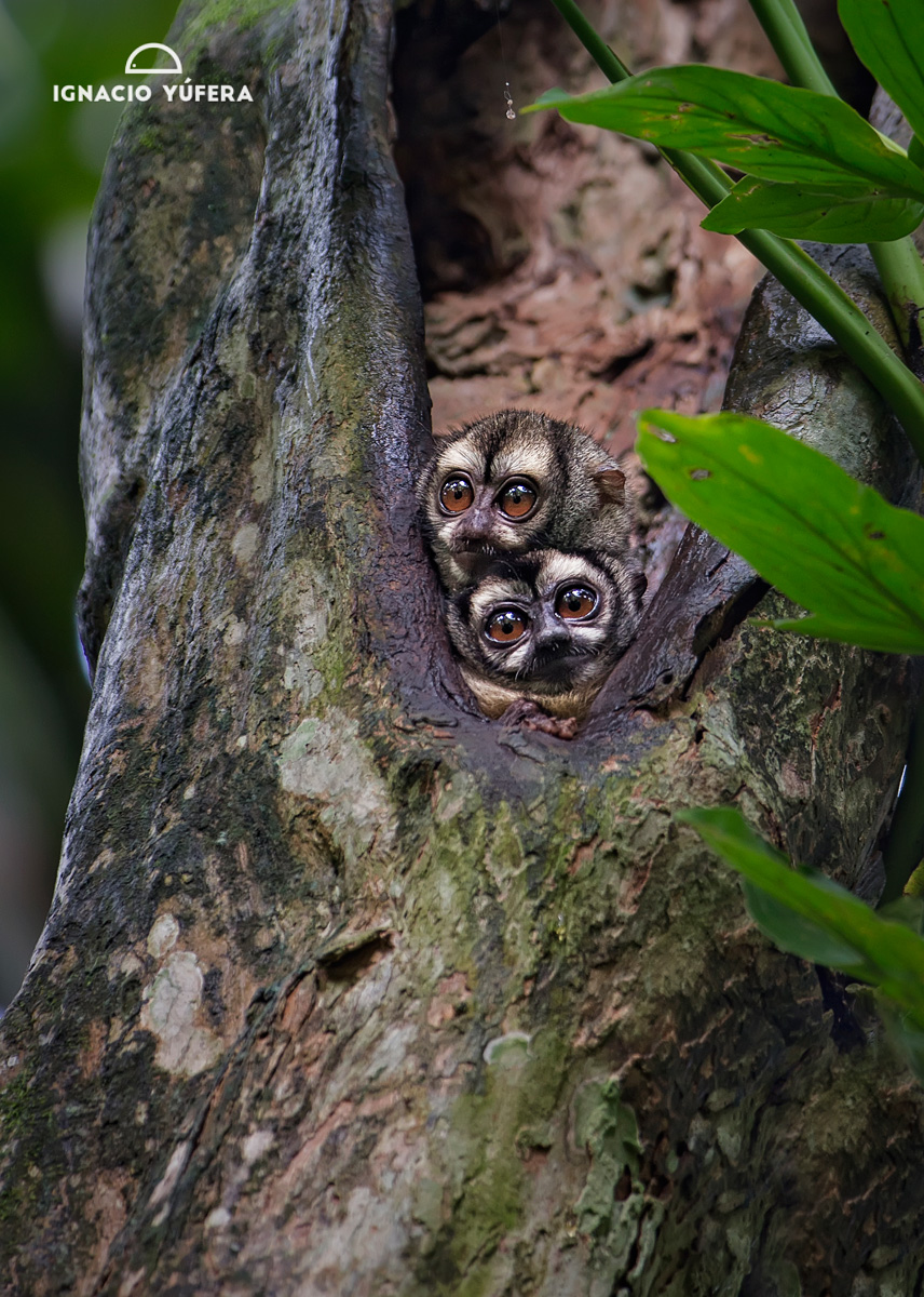 Western night monkey (Aotus lemurinus), pair in roosting tree hole, Panama, July