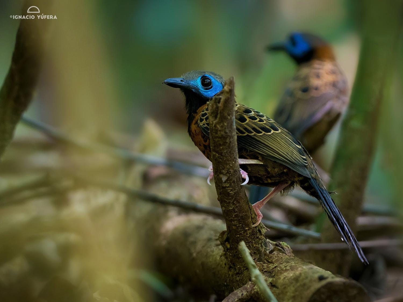 Ocellated Antbird (Phaenostictus mcleannani), Gamboa, Panama
