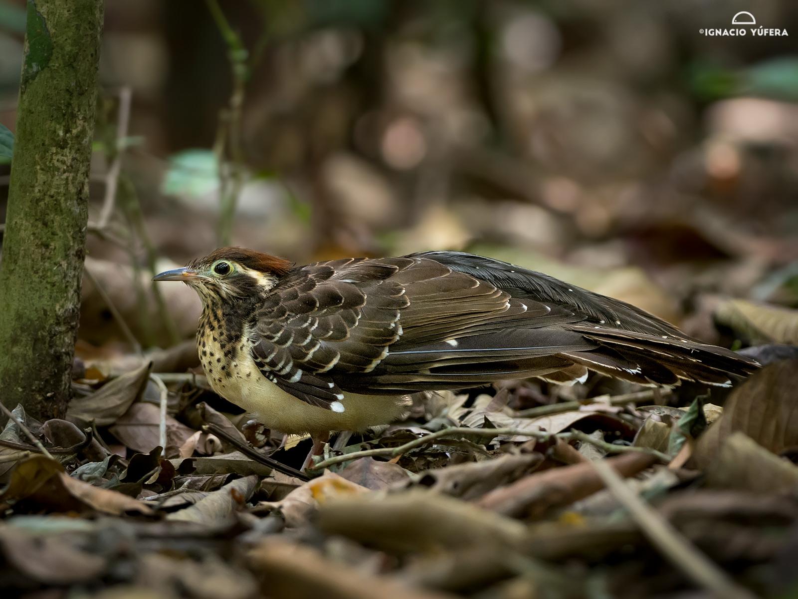 Pheasant Cuckoo (Dromococcyx phasianellus), Gamboa, Panama