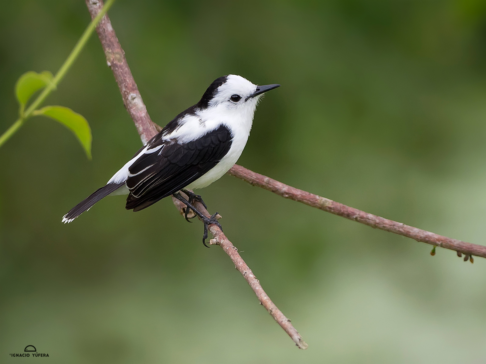 Pied Water-tyrant (Fluvicola pica), Cauca Valley, Colombia