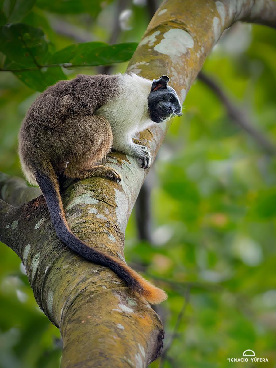 Pied Tamarin (Saguinus bicolor), Amazonas, Brazil