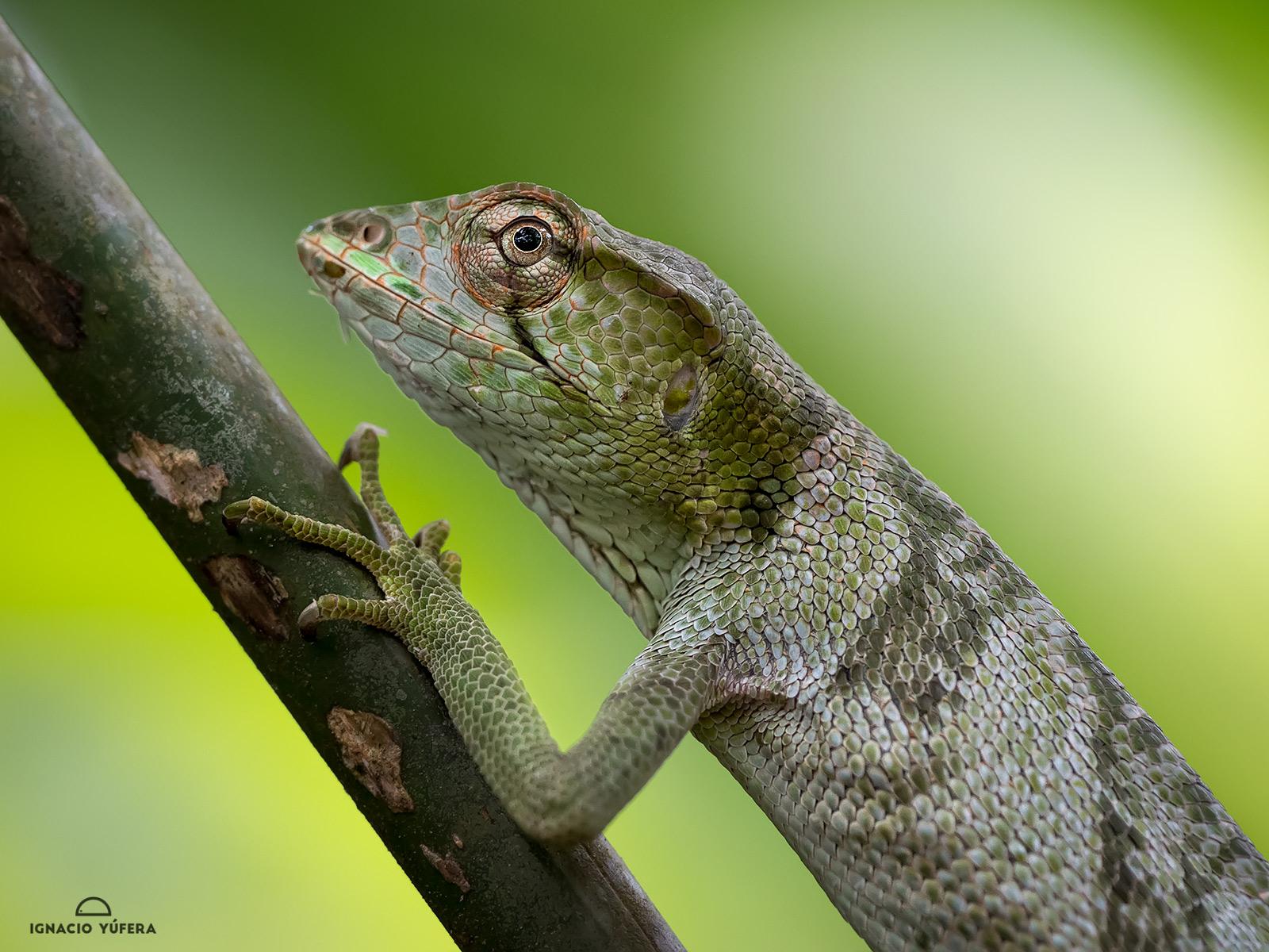 Canopy lizard (Polychrus gutturosus), Gamboa, Panama
