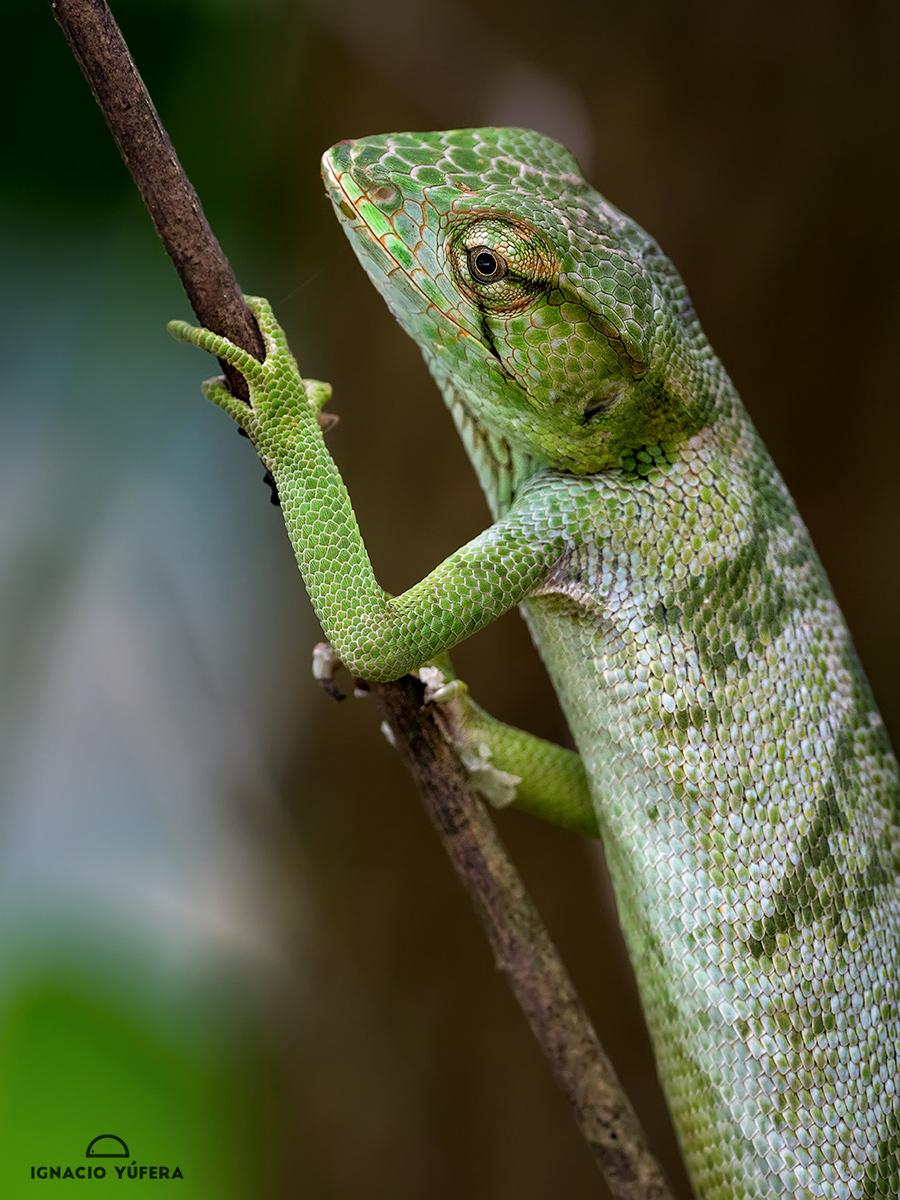 Canopy lizard (Polychrus polychrus gutturosus), Gamboa, Panama
