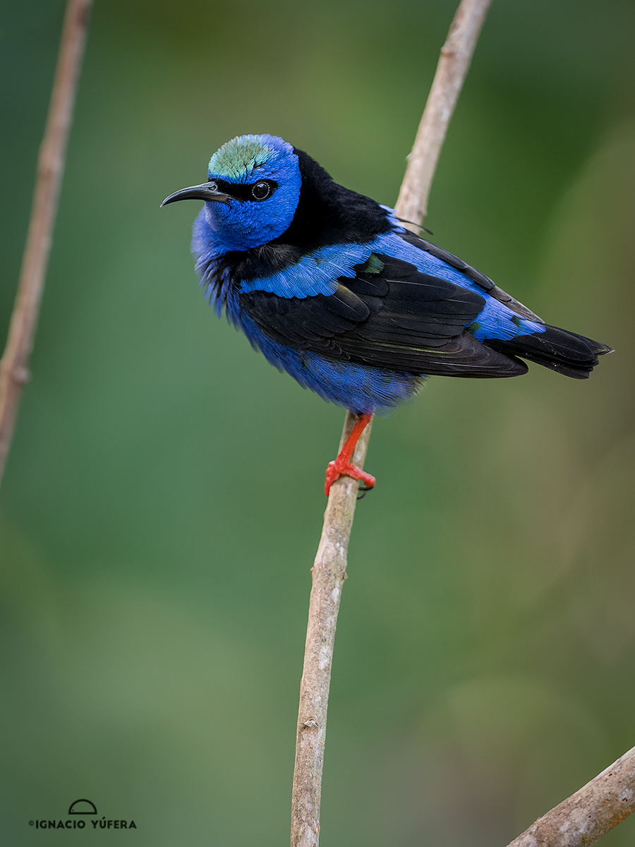 Red-legged Honeycreeper (Cyanerpes cyaneus), Gamboa, Panama, December
