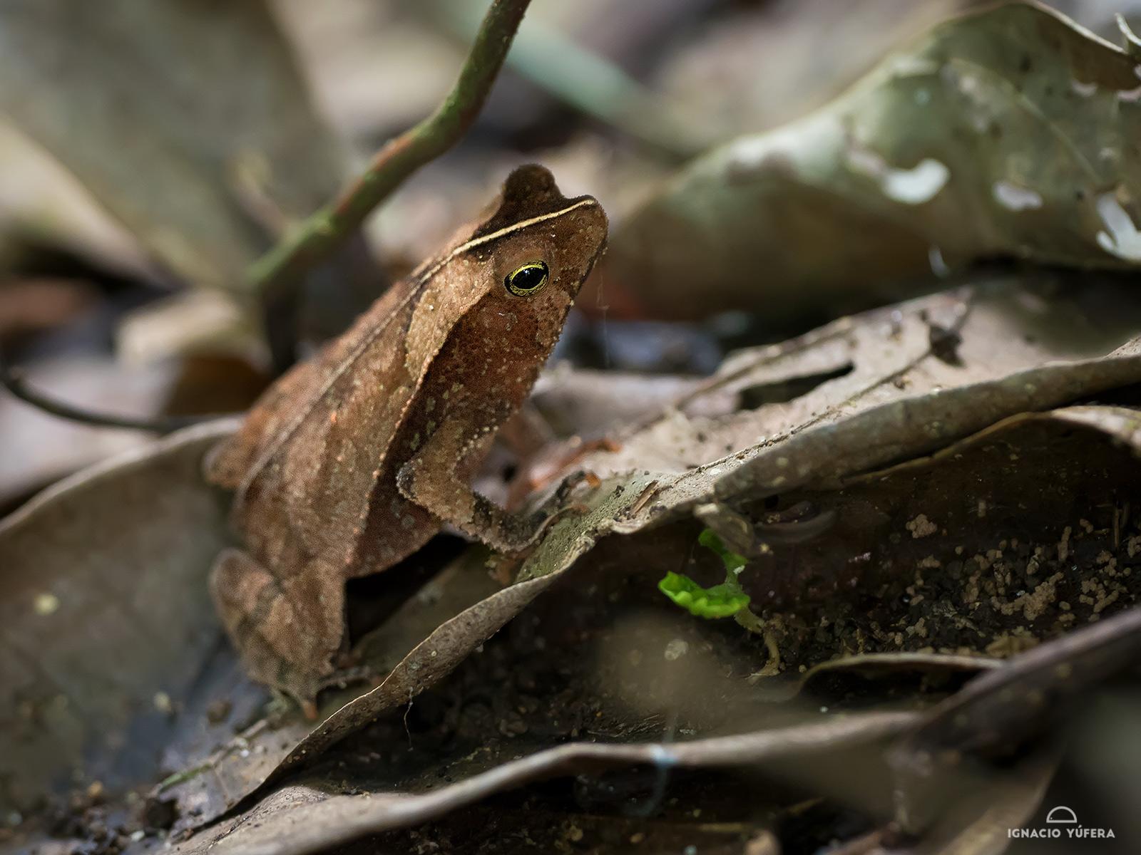 Leaf-litter toad (Rhinella alata), San Francisco reserve, Panama