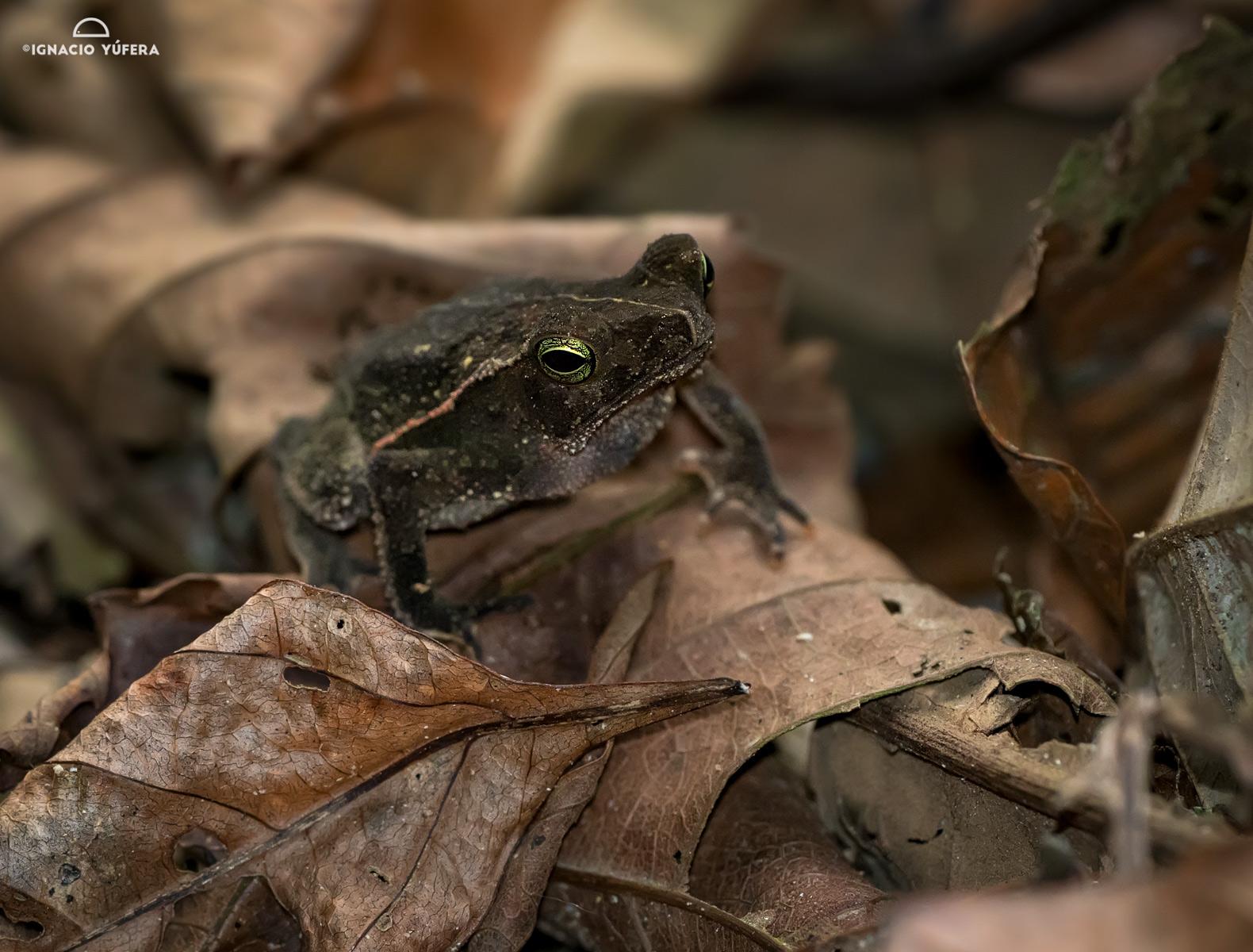 Leaf-litter toad (Rhinella alata), Gamboa, Panama