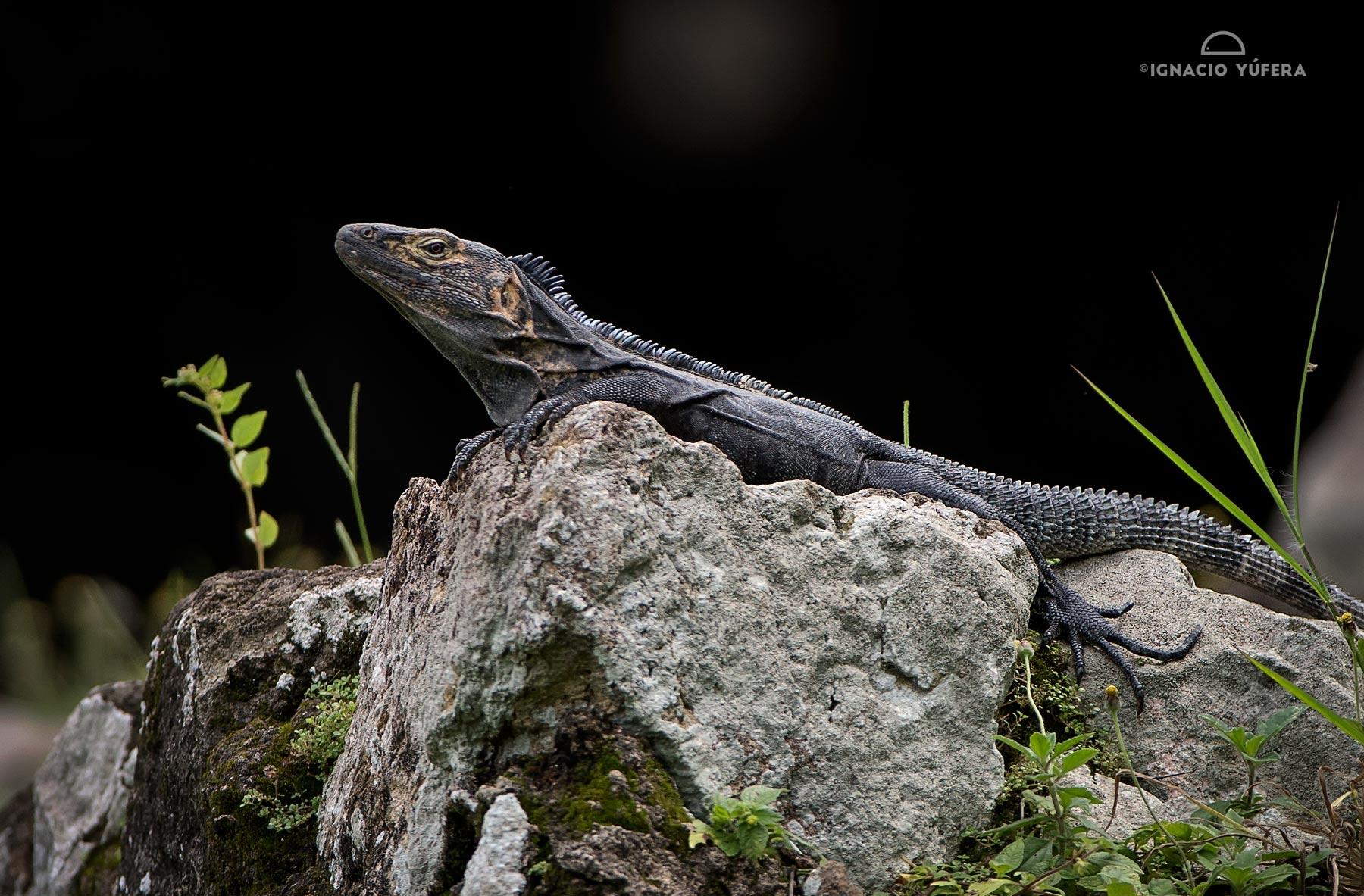 Spiny-tailed iguana (Ctenosaura similis), male, ruins of Panama Viejo, Panama, July