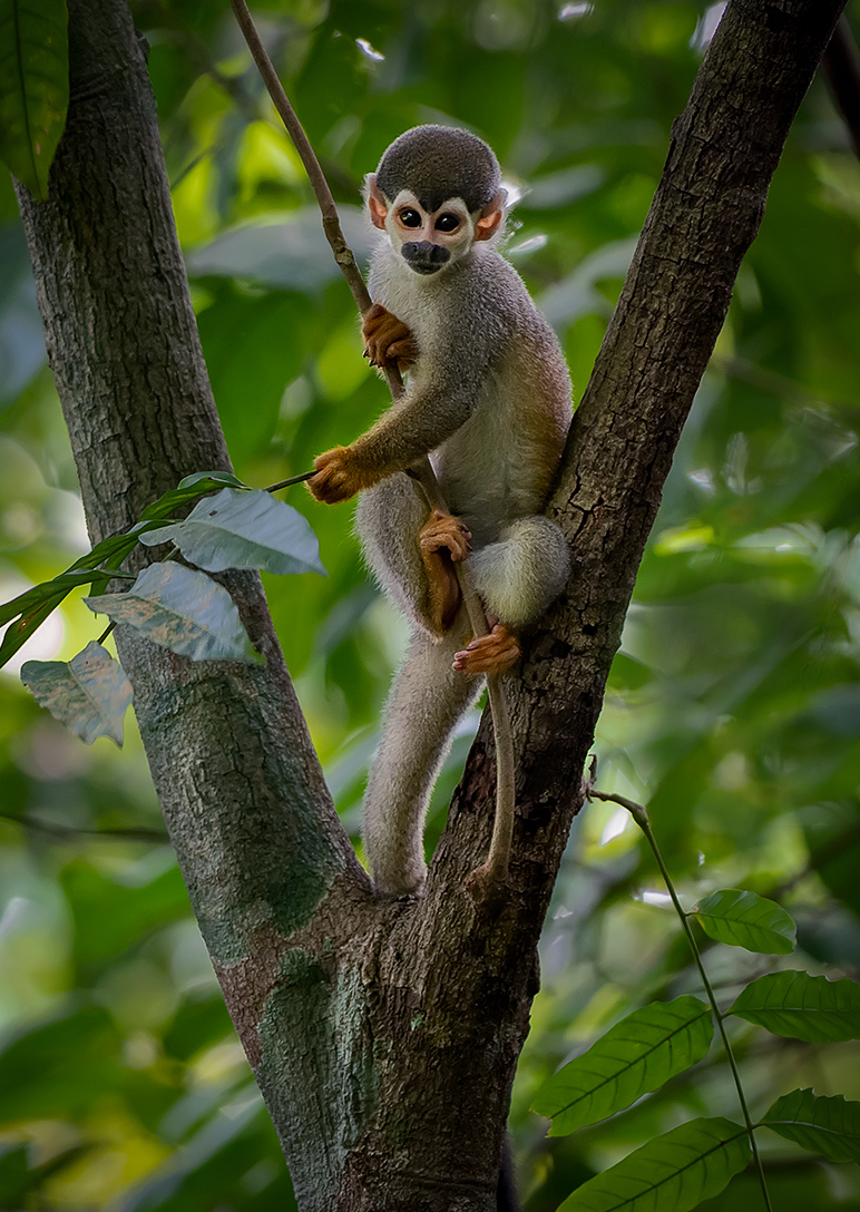 Bare-eared Squirrel Monkey (Saimiri ustus), Amazonas, Brazil