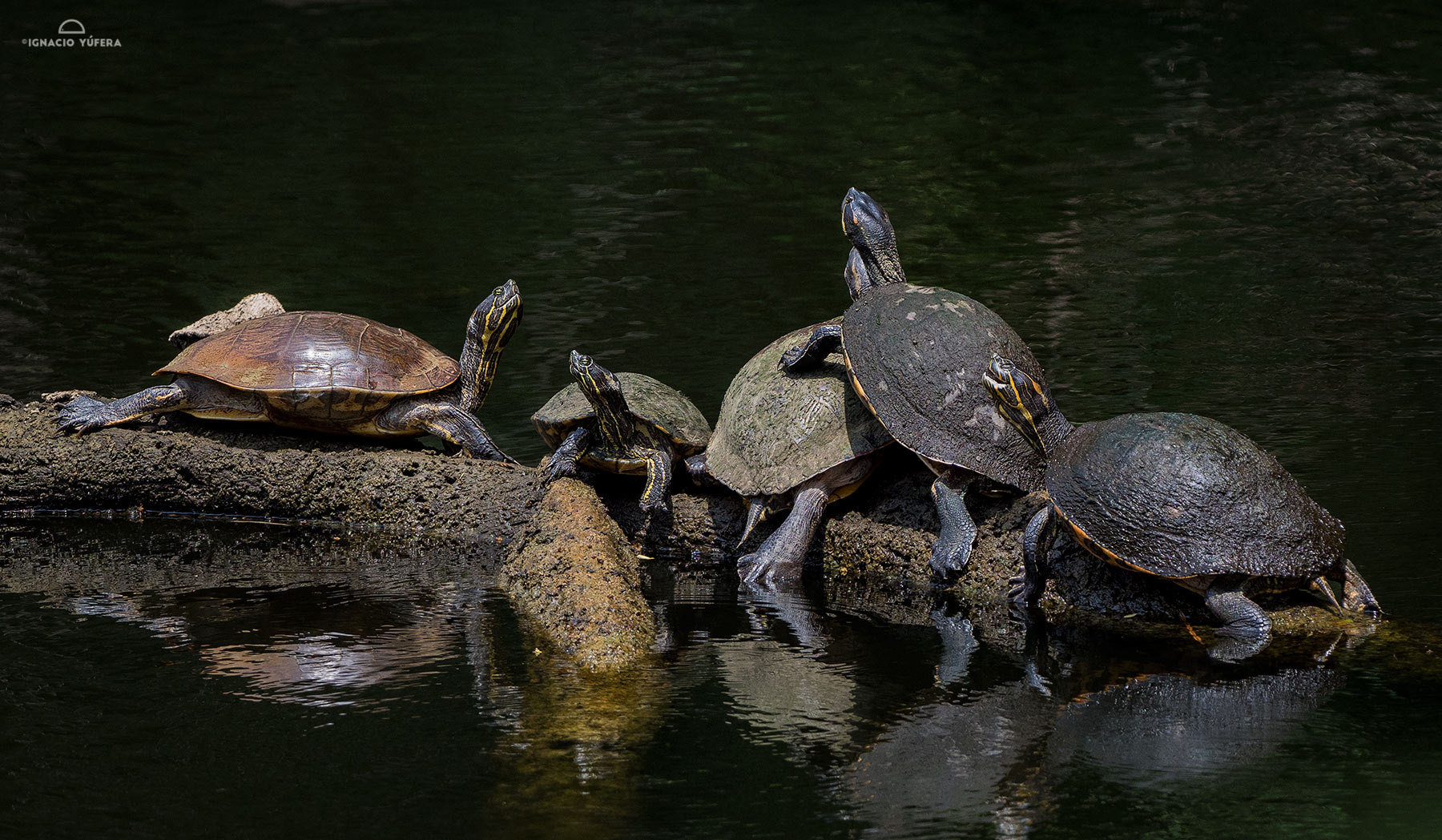 Central American sliders (Trachemys venusta)