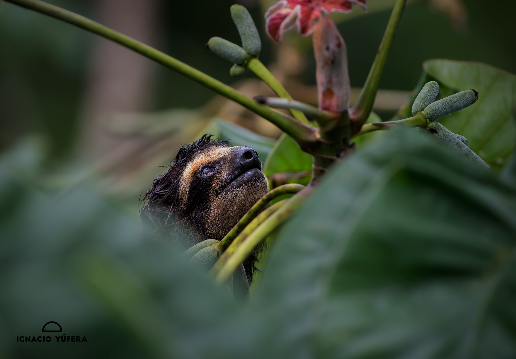 Brown-throated Three-toed sloth (Bradypus variegatus), looking up from vegetation, Panama, July