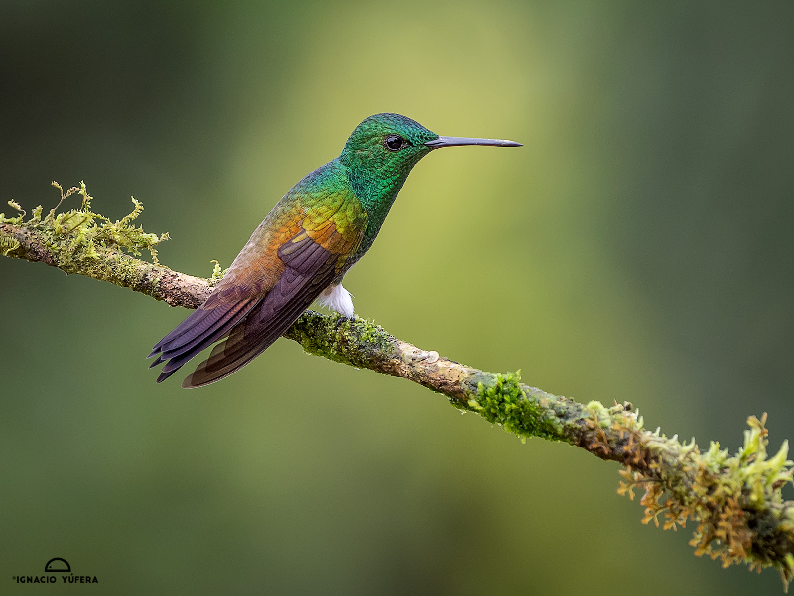 Snowy-bellied hummingbird (Amazilia edward), male, Panama, July