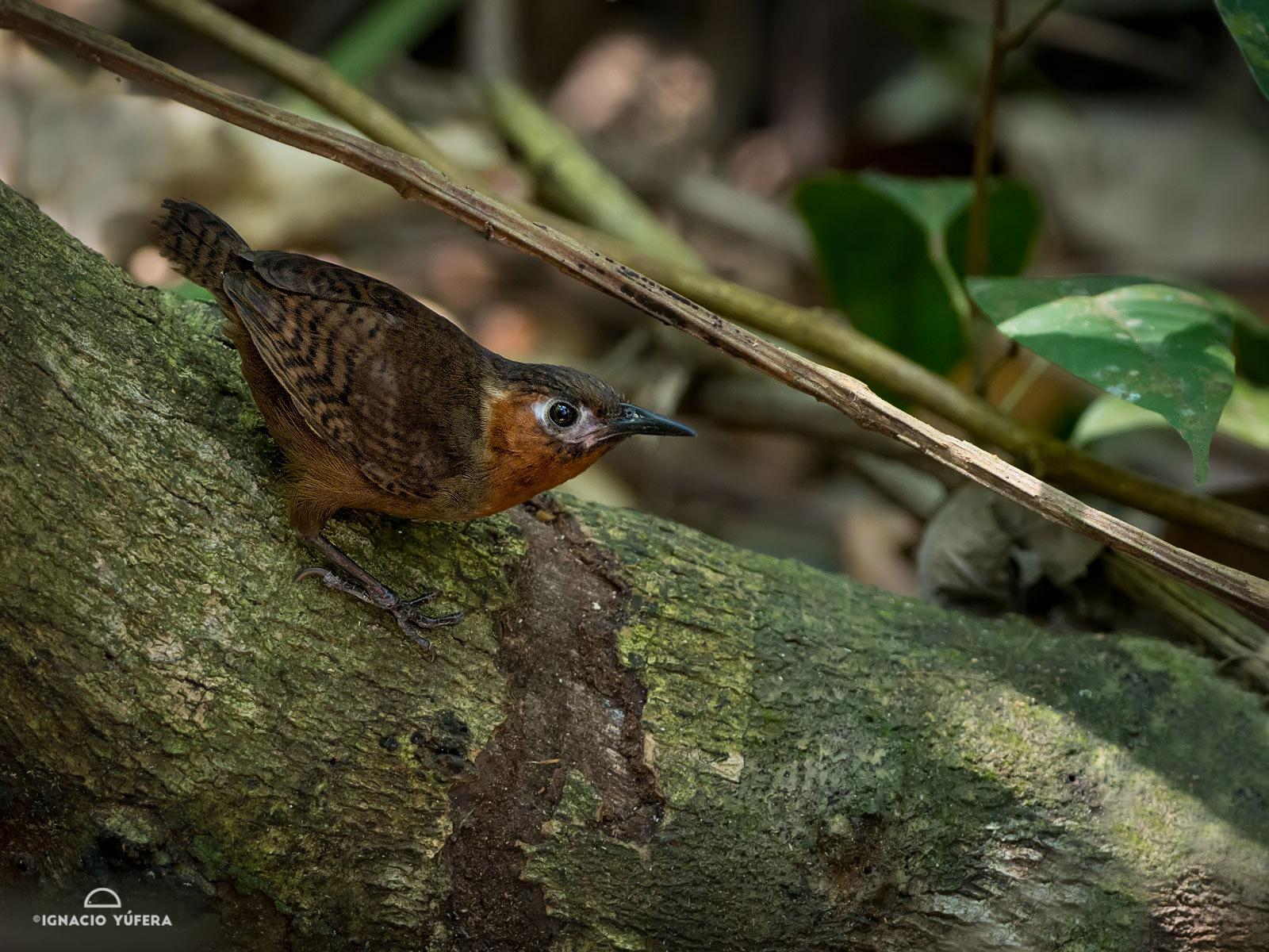Song Wren (Cyphorhinus phaeocephalus), Gamboa, Panama