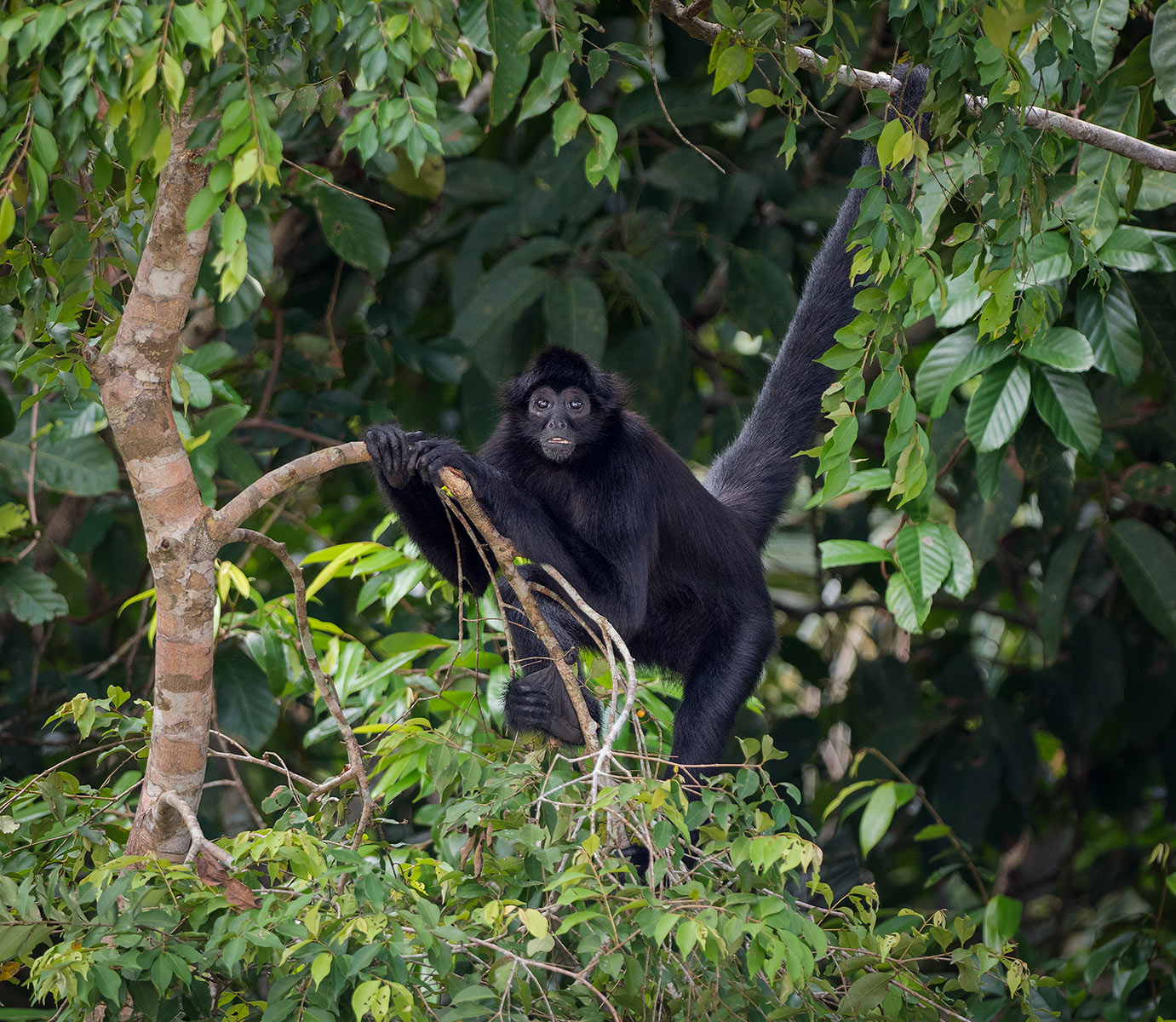 Brown-headed Spider Monkey (Ateles fusciceps)