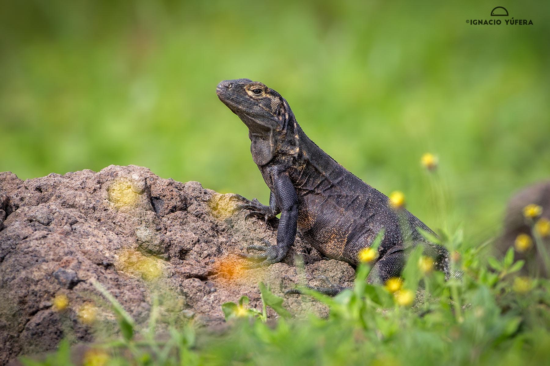 Spiny-tailed iguana (Ctenosaura similis), female, ruins of Panama Viejo, Panama, July
