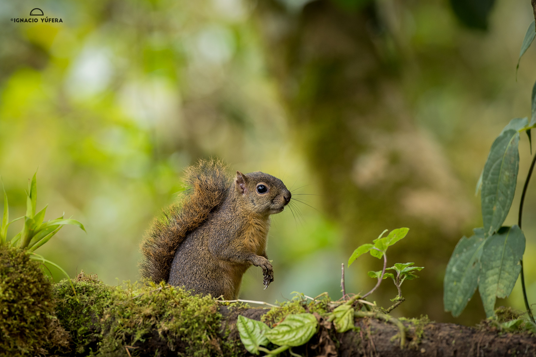 Red-tailed Squirrel (Sciurus granatensis), Chiriqui highlands