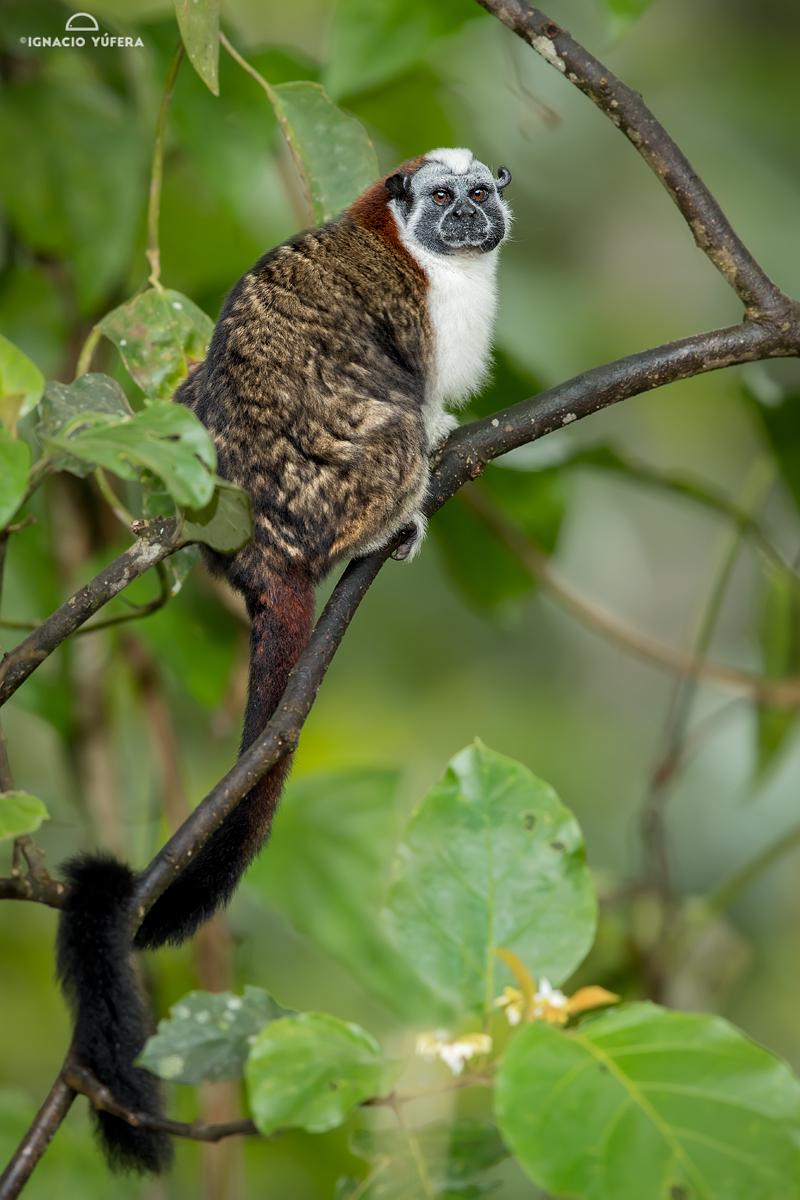 Geoffroy's tamarin (Saguinus geoffroyi), Cerro Azul, Panama, December