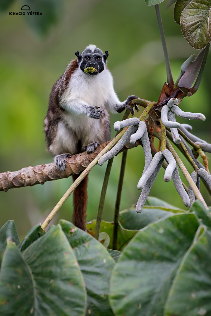 Geoffroy's tamarin (Saguinus geoffroyi), feeding on Cecropia tree fruit, Panama, October