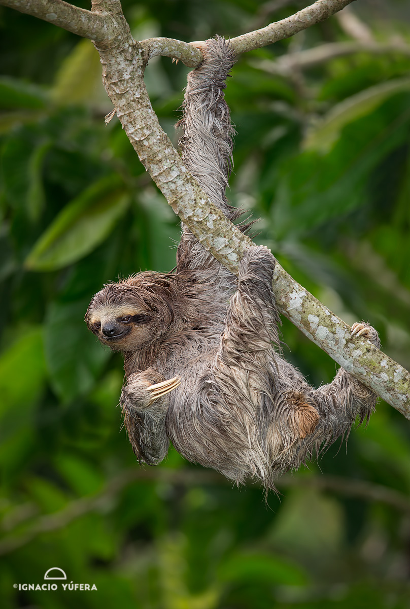 Brown-throated Three-toed sloth (Bradypus variegatus), Panama, October
