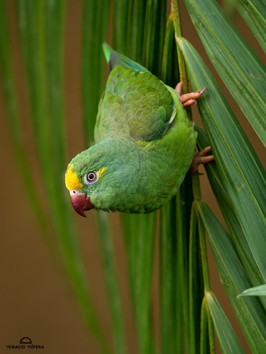 Tui Parakeet (Brotogeris sanctithomae takatsukae), Amazonas, Brazil