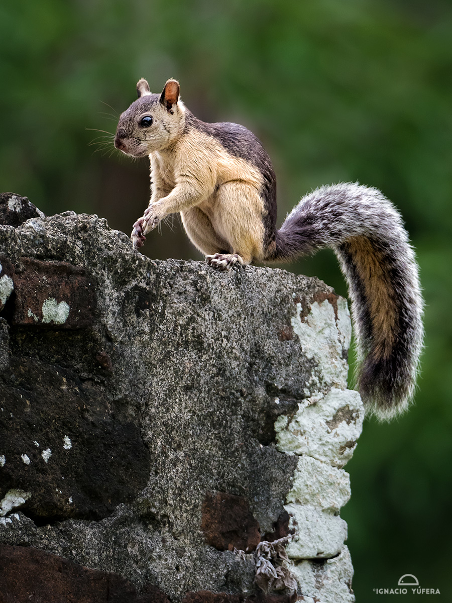 Variegated Squirrel (Sciurus variegatoides)