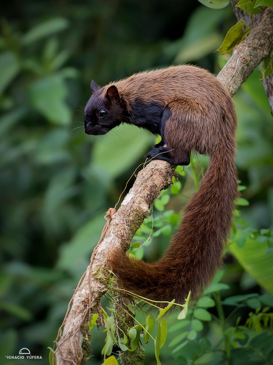 Variegated Squirrel (Sciurus variegatoides), Paraiso, Chiriquí, Panama