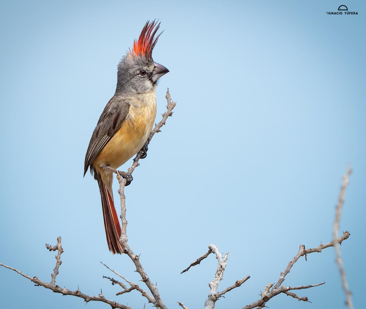 Vermilion Cardinal (Cardinalis phoeniceus), female, La Guajira, Colombia