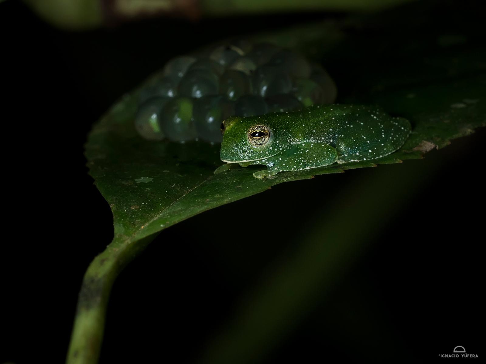 glass-frog-eggs