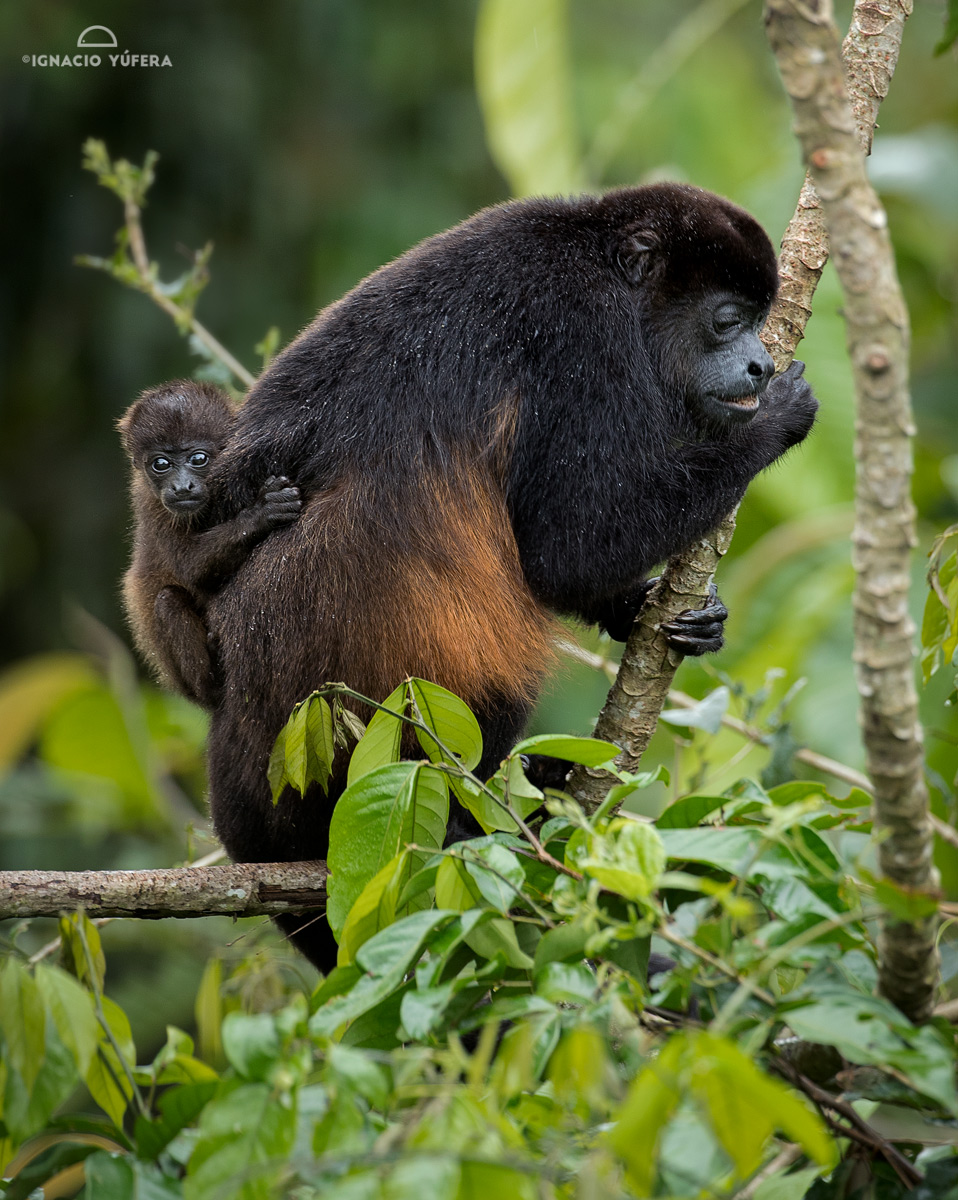 Mantled Howler Monkey (Alouatta palliata), Gamboa, Panama