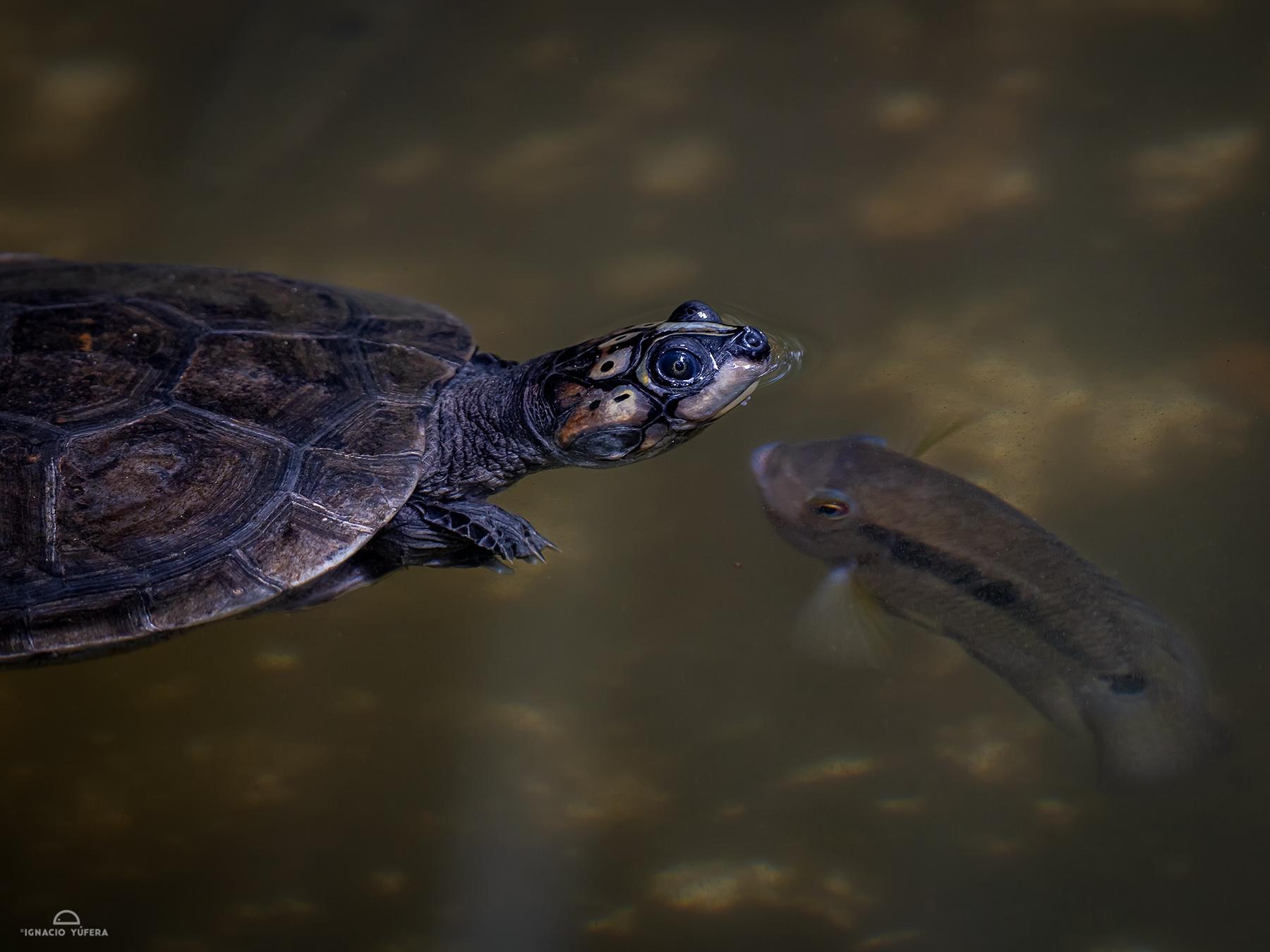 Arrau turtle (Podocnemys expansa), juvenile, Amazonas, Brazil