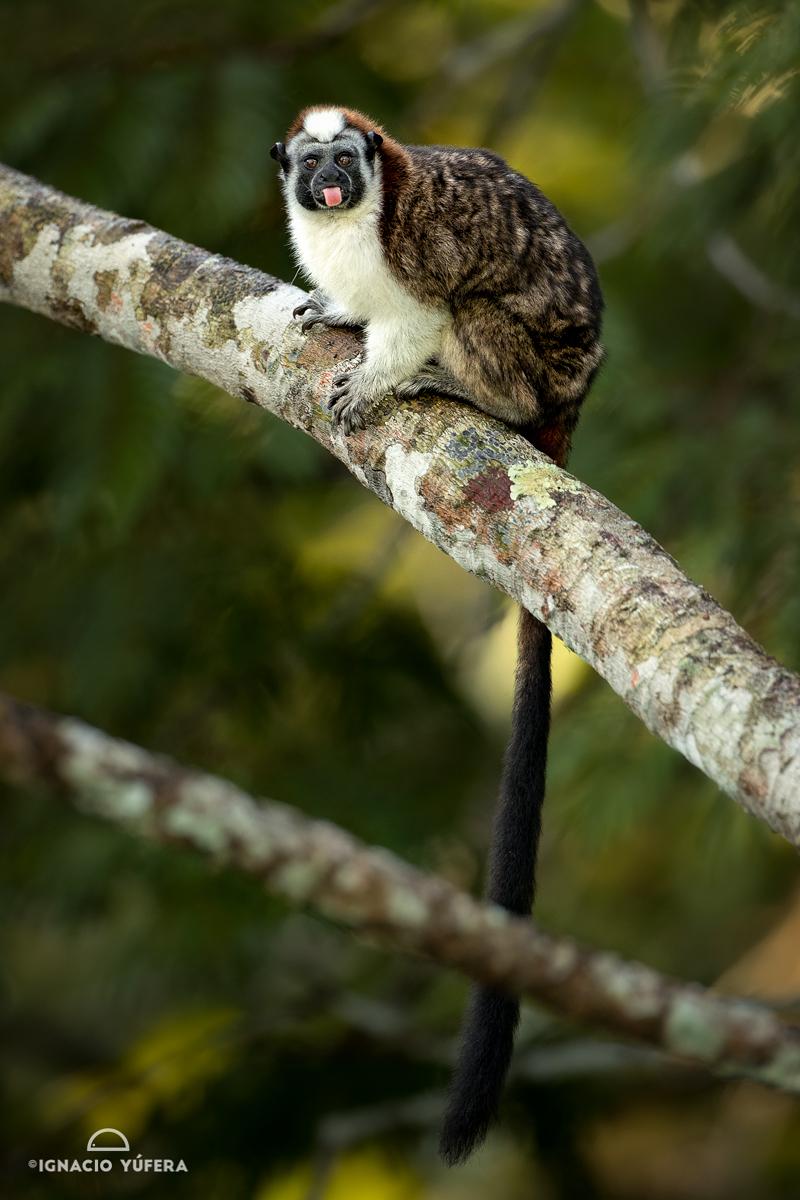 Geoffroy's tamarin (Saguinus geoffroyi), Panama, October