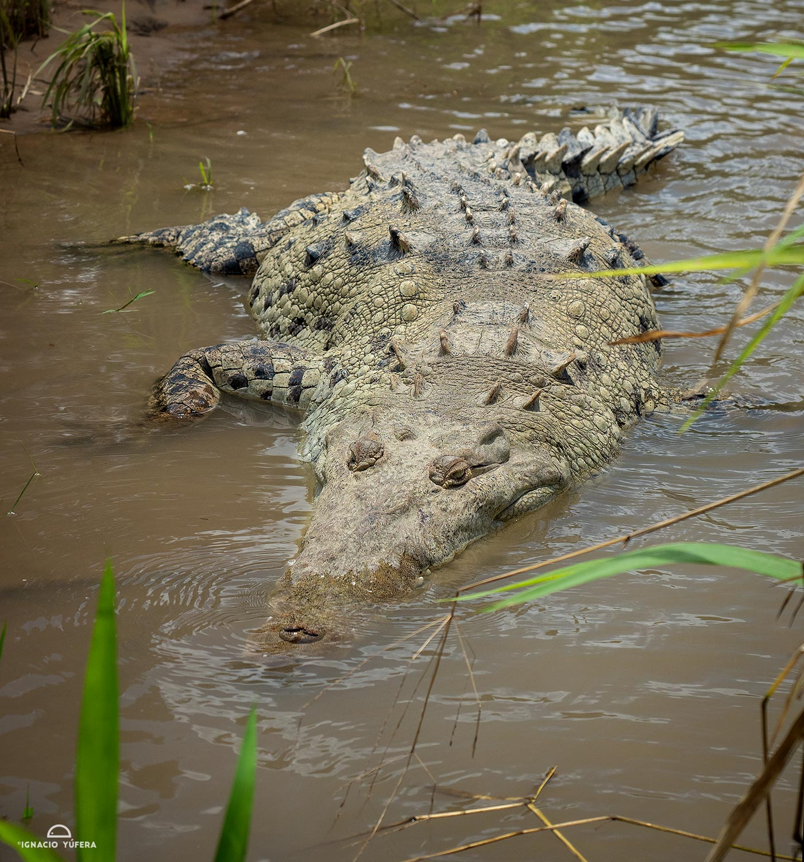 American Crocodile (Crocodylus acutus),Tarcoles River, Costa Rica