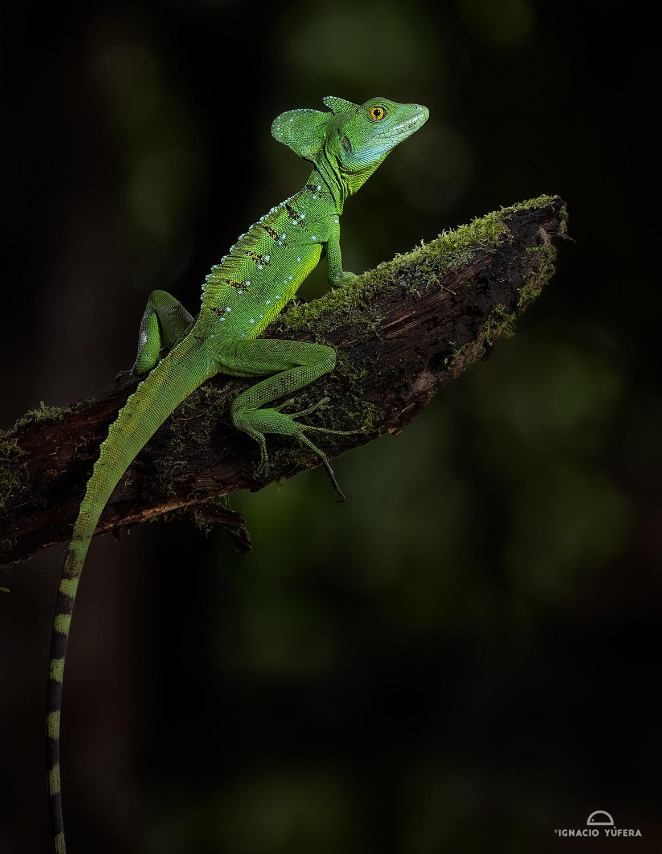 Green Basilisk (Basiliscus plumifrons), subadult male, Costa Rica