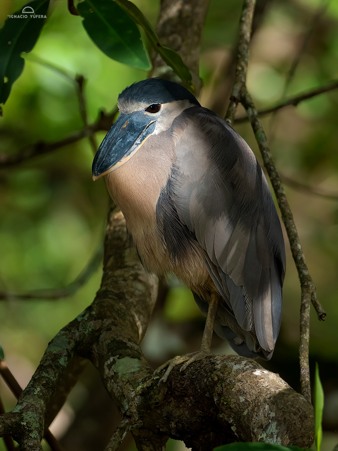 Boat-billed Heron (Cochlearius cochlearius), resting in mangrove forest, Costa Rica