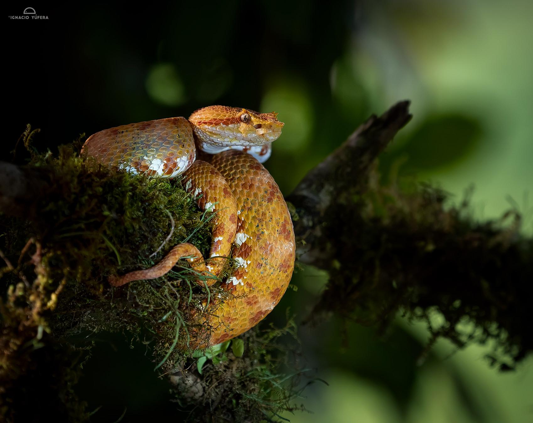 Eyelash Pitviper (Bothriechis schlegeli), Costa Rica