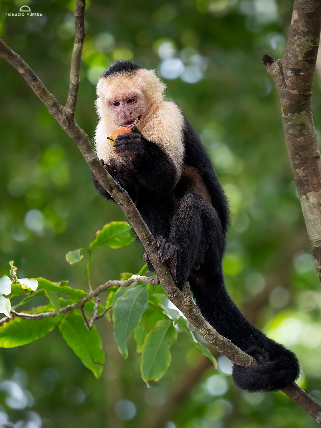 White-faced Capuchin Monkey (Cebus capucinus), eating apple stolen from tourists. Manuel Antonio National Park, Costa Rica