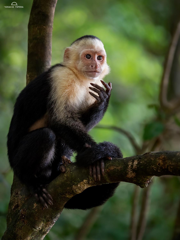White-faced Capuchin Monkey (Cebus capucinus), Manuel Antonio National Park, Costa Rica