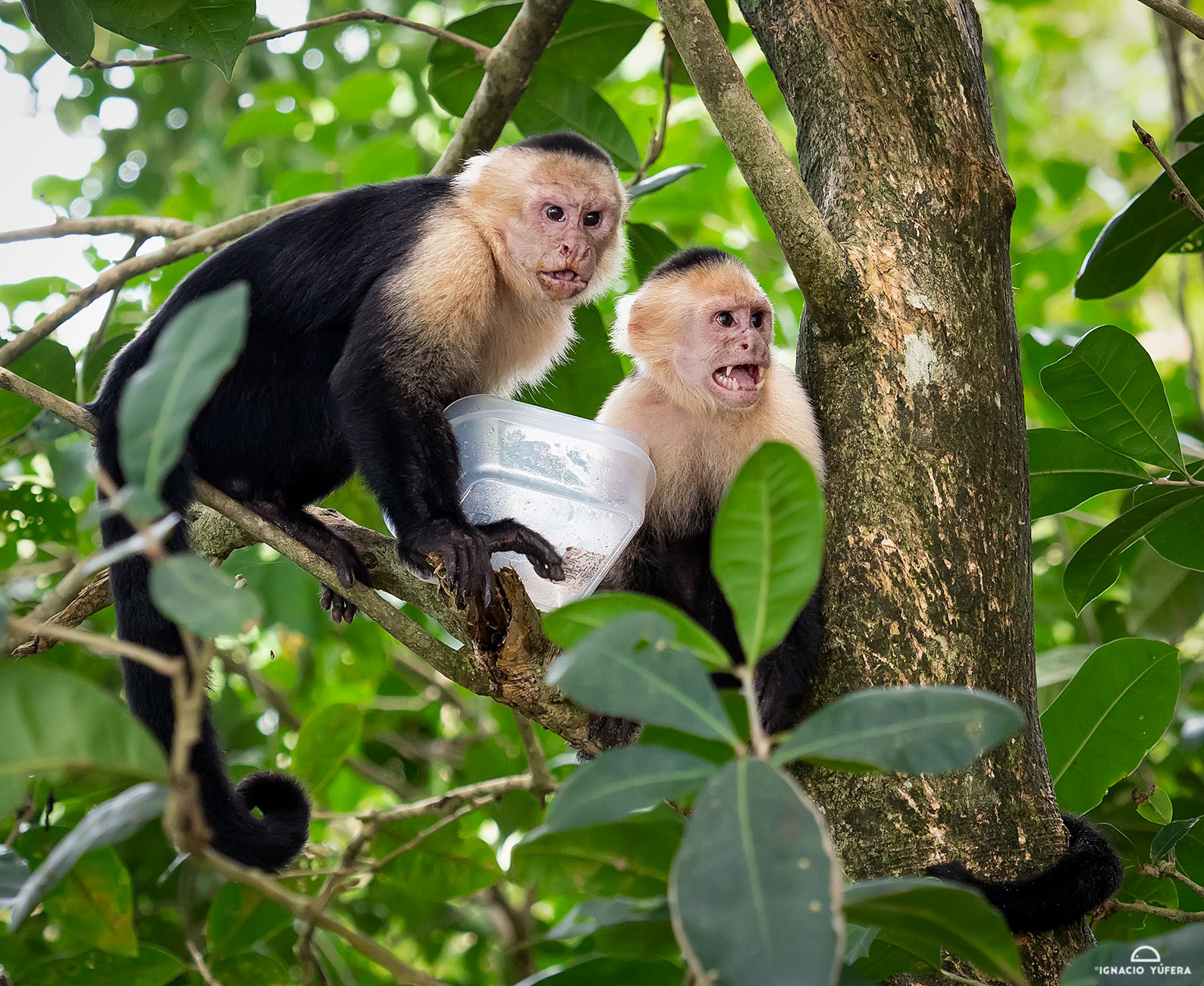 White-faced Capuchin Monkey (Cebus capucinus), with food stolen from tourists. Manuel Antonio National Park, Costa Rica
