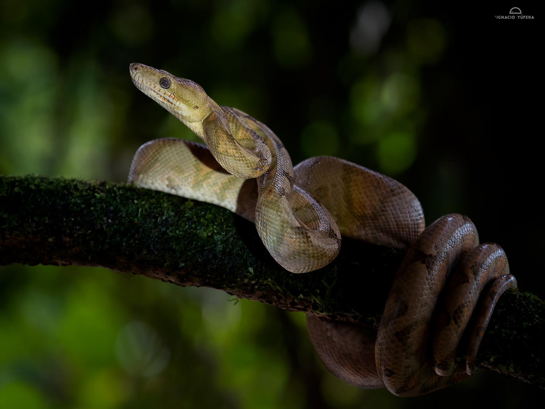 Annulatedd Tree Boa (Corallus annulatus), Costa Rica