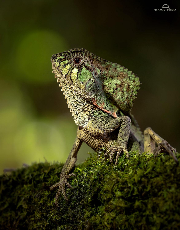 Smooth-helmet Iguana (Corytophanes cristatus), Costa Rica