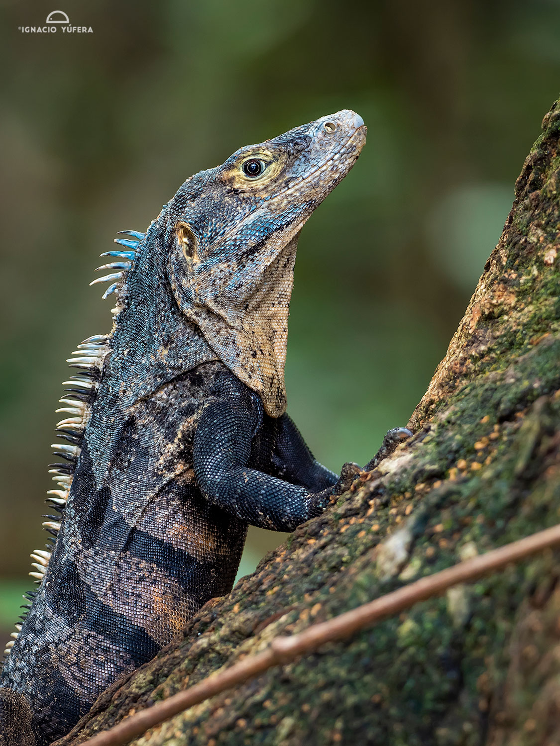 Spiny-tailed Iguana (Ctenosaura similis), Manuel Antonio National Park, Costa Rica