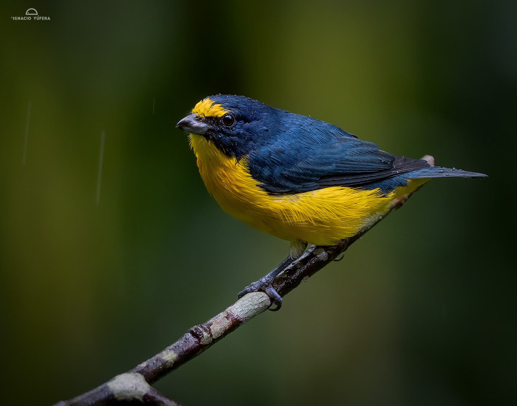 Yellow-throated Euphonia (Euphonia hirundinacea), Costa Rica